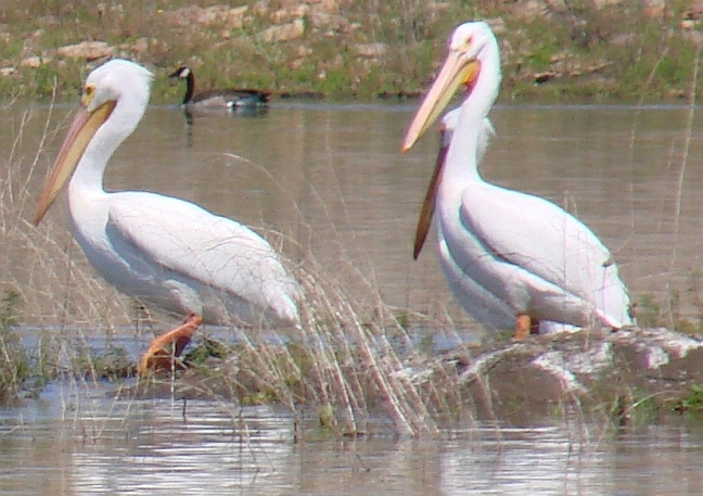steppin-out-pelicans