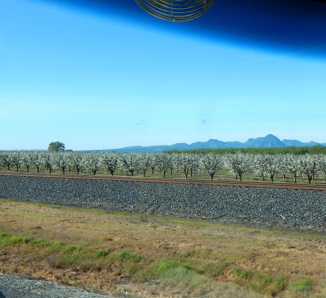 2015-3-12a almond blossoms, Sutter Buttes along SR99 near Gridley