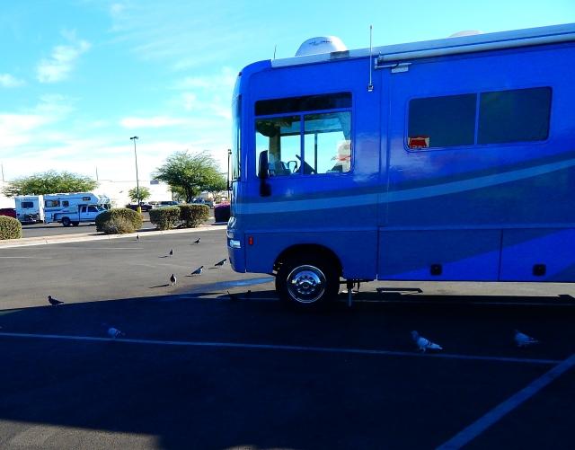 2015-9-29a morning with the pigeons at Kingman, AZ