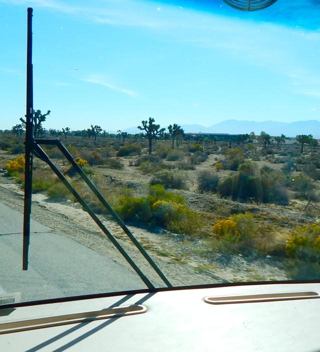 2015-10-23e Joshua trees along the desert drive