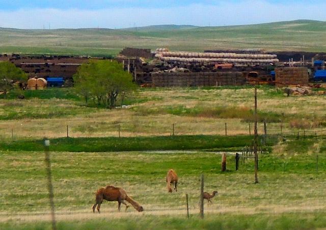 2016-5-27a camels