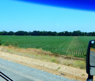 2016-6-13b crops along the drive