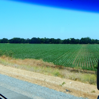 2016-6-13b crops along the drive