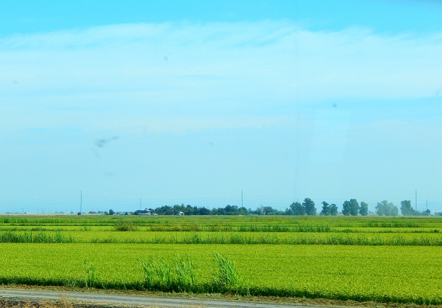 2016-8-29d rice along SR99
