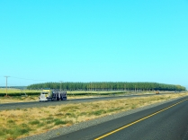 """A stand of future lumber along the highway in Oregon. These """"forests"""" are grown like crops only for harvest."""