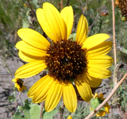 2016-9-5b-black-eye-susans