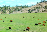 Black and red angus seemed to be the cattle of choice along our drive.