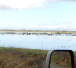 Harvested rice paddies with water draw waterfowl by the thousands!