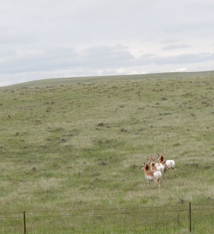 These pronghorn antelope took off when I stopped to shoot them. Really, guys, it was just a camera shot.
