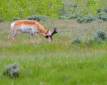A pronghorn buck too busy eating to look up.