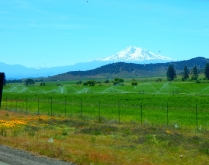 Irrigation works magic under the gaze of Mt. Shasta.
