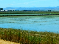 Rice paddies are flooded and sprouting rice this time of year. These paddies are wonderful nurseries for mosquitos...
