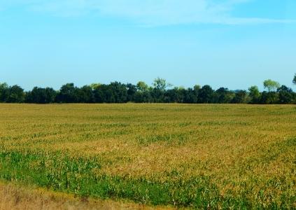 Corn ready for harvest along CA99.