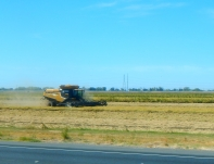 Harvesting rice along the highway.