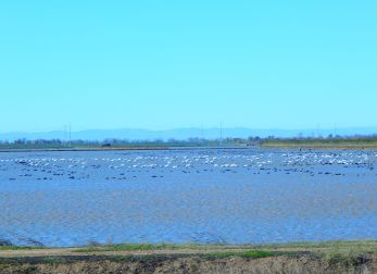 The birds loved the flooded rice paddies.