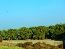 There are a lot of orange groves in the Bakersfield area.