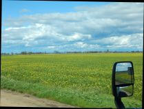 A field of mustard makes quite a sight!