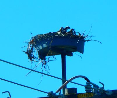 We passed this eagles nest on CA70. I believe these are Golden Eagle chicks. I saw a parent flying around the nest area and the massive six foot plus wingspan was a marvelous sight!