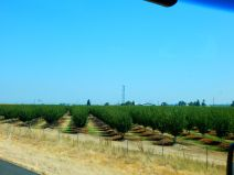 North of Sacramento there are orchards everywhere - of many different fruits and nuts. Kalifornistan is, after all, the land of fruits and nuts!