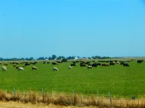Cows grazing all in the same direction along our drive north on I-5. They almost seemed organized!