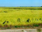 Rice near Gridley seemed ready for harvest.