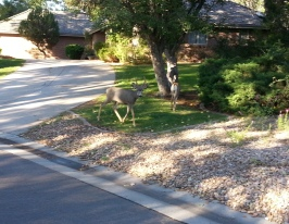 As I walked to the park, these deer watched me closely. The kids' neighborhood has lots of wildlife around.