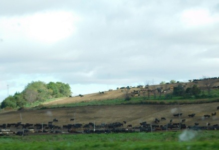 One of many Nebraska feed lots - this is where our steaks and burgers come from!?