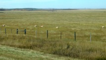 A herd of Pronghorn antelope.