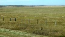 A herd of Pronghorn antelope.