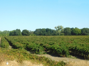 Vineyards and orchards seem to be everywhere along CA99.