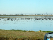 Here the rice had been harvested and the paddies flooded. The birds flock to this area south of Yuba City all winter.