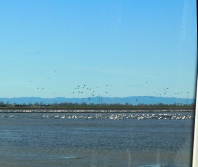 More waterfowl to watch as we drove home through the flooded rice paddies.