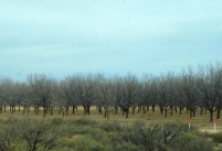 A desert orchard in the dead of winter.