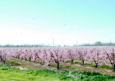 The valley was bursting with color. Here almonds are in full bloom.