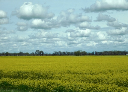 Acres and acres of blooming mustard - mustard was all over the valley roadsides.