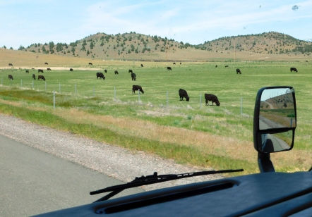 Plateau near Yreka and grazing Angus.