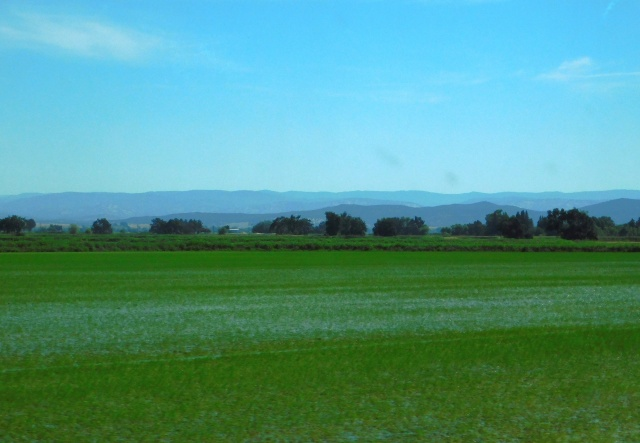 2019-6-11b rice east of Gridley