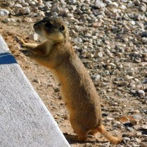 I'd never seen Prairie Dogs up close before, and I loved the time with them.