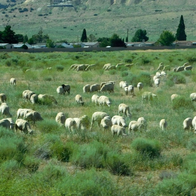 A flock of sheep somewhere in the Tehachapis. No ewe turns allowed!