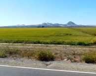 Rice, rice, and more rice near the Sutter Buttes. Pretty!