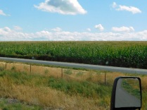 Corn that will likely be chopped for cattle.
