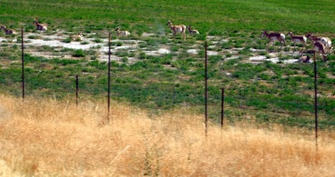 This was but a portion of a large herd of Pronghorn just after we entered Utah.