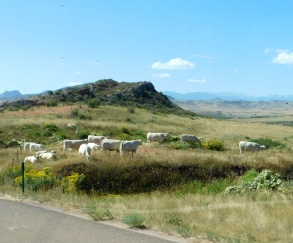 I rarely see white cattle. I believe these are Charolais.