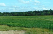 A lot of soy beans were growing in Kansas fields.