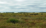 Black Angus cattle were grazing all along US20. It is very serious cattle country.