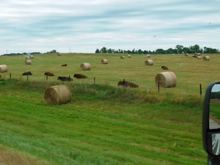 This must be cow heaven. Cattle are rarely seen on the same field as baled hay - and they are a bunch of very satisfied critters.