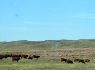 Brown Angus? Never heard of them, but yep, these may be Brown Angus.