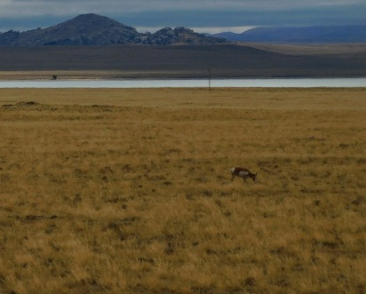 Pronghorn were a fairly common site out on the very remote and lonely WY220.
