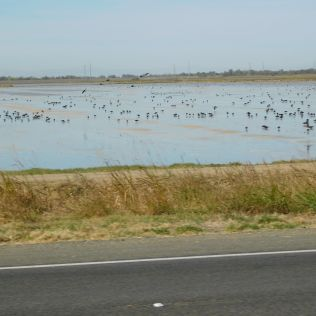 The birds by the thousands were lovin' the flooded rice paddies.