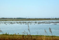 The ducks, geese, swans are luvin' the flooded rice paddies.